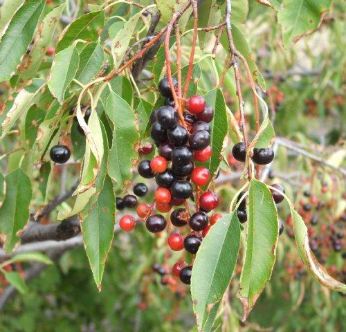 black singles in capulin Prunus salicifolia synonyms noun 1 capulin - mexican black cherry tree having edible fruit capulin tree cherry - a red fruit with a single hard stone.